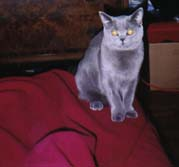 My cat, Marjorie, a blue British shorthair